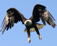 Bald eagle in flight.