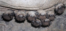 Bats with white-nosed fungus. Credit: Al Hicks, New York Dept. of Environmental Conservation