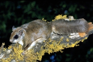 West Virgina Northern flying squirrel