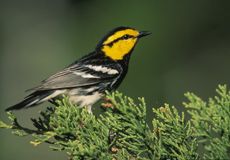 image of golden cheeked warbler