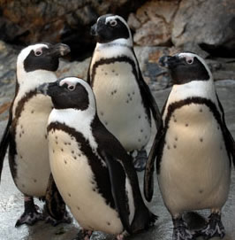 African penguins. Credit: Maryland Baltimore Zoo